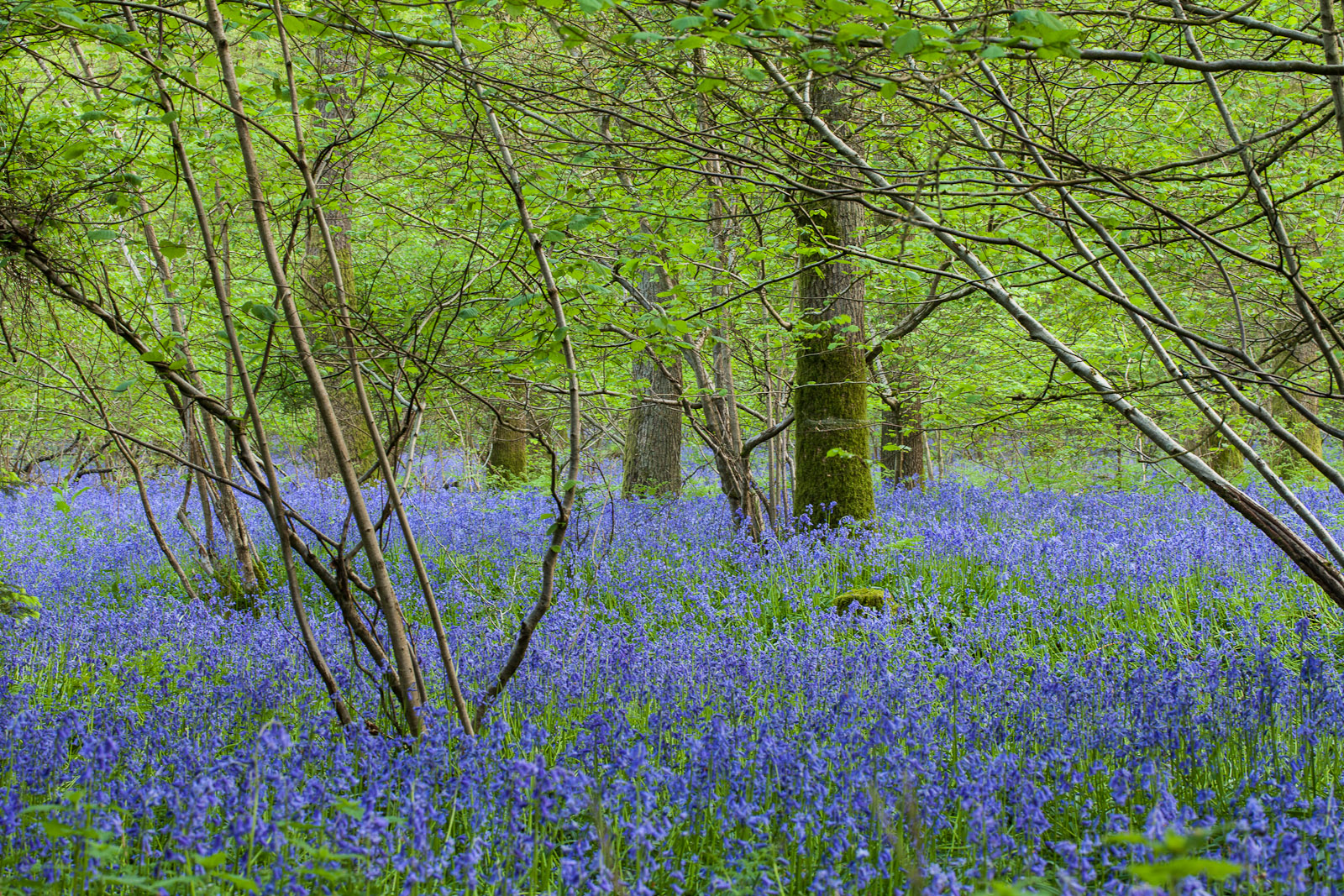 Deeper into the woods the bluebell carpet is still impressive...