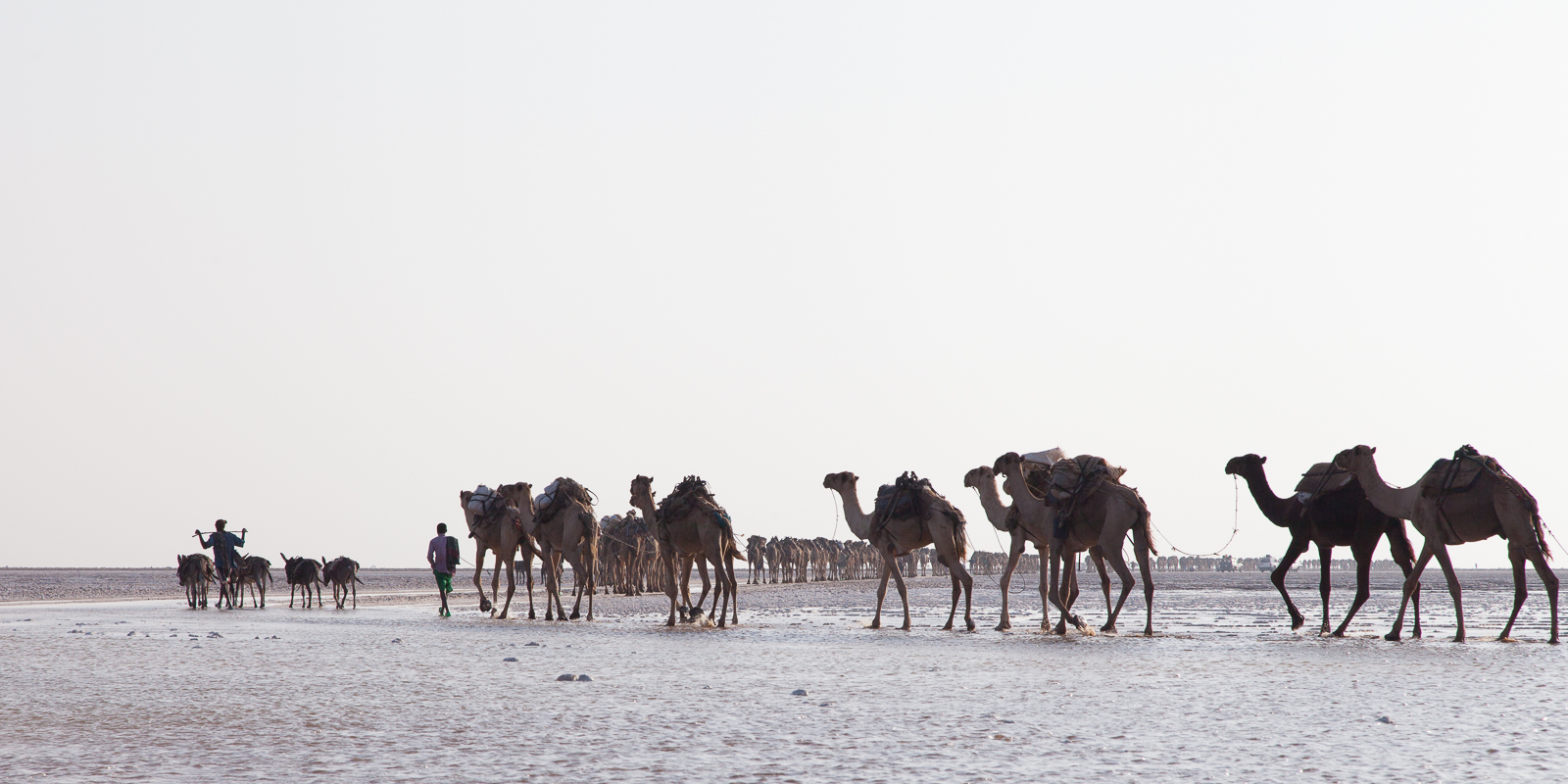 The daily camel train heading out to the salt flats to pick up their cargo of white gold. [Click to enlarge!]