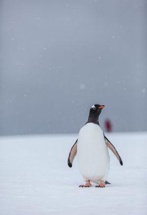 Gentoo Penguin, Yankee Harbour, Greenwich Island, Antarctica.