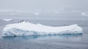 Gentoo Penguins, Charlotte Bay, Antarctica.