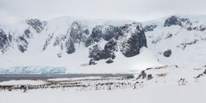 Gentoo Penguin Rookery, Cuverville Island, Antarctica.