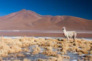 Altiplano. Bolivia.